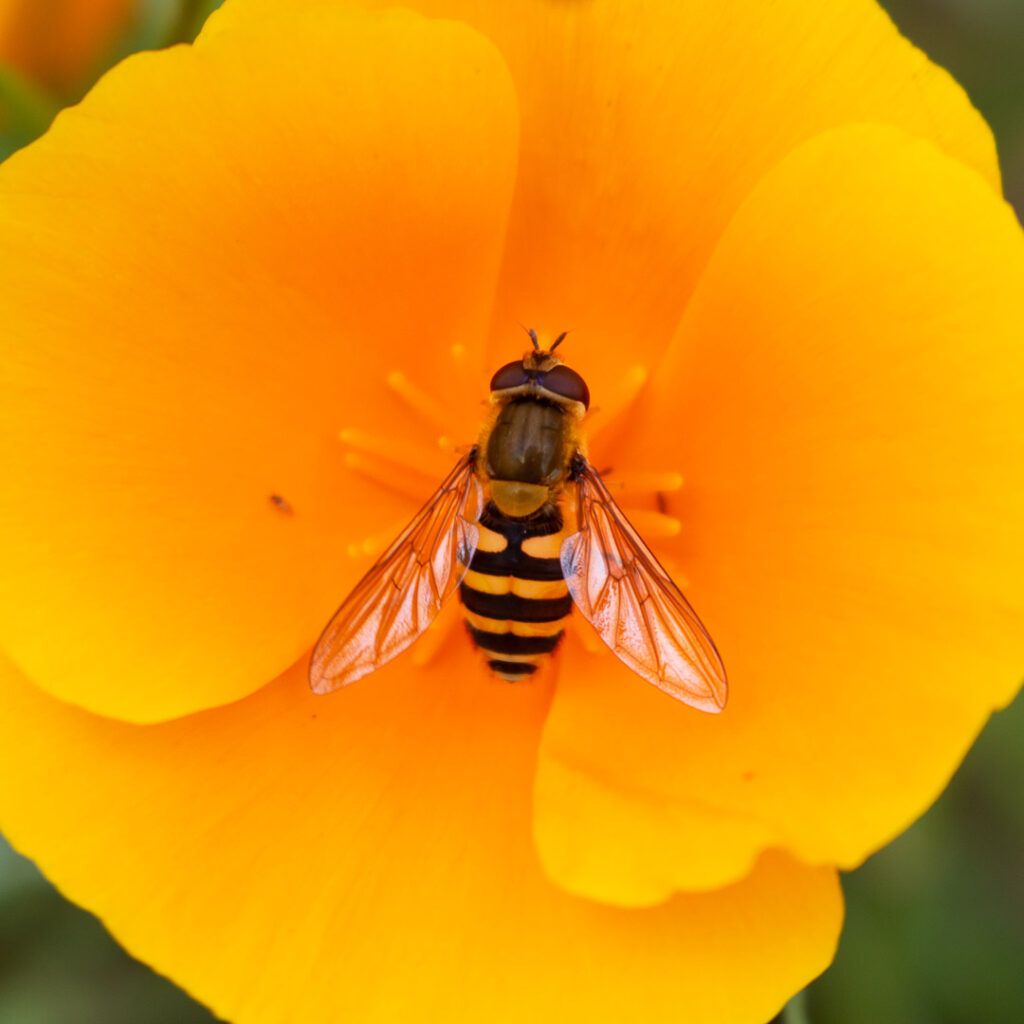 Insects doing their job.⠀⠀⠀⠀⠀⠀⠀⠀⠀ .⠀⠀⠀⠀⠀⠀⠀⠀⠀ .⠀⠀⠀⠀⠀⠀⠀⠀⠀ #hoverfly #bee #bees #bumblebee #bumblebees #insect #insects #beesofinstagram #insectsofinstagram #flower #flowers #plant #plants #flowersofinstagram #plantsofinstagram #garden #gardens #pollen #pollinator #orange